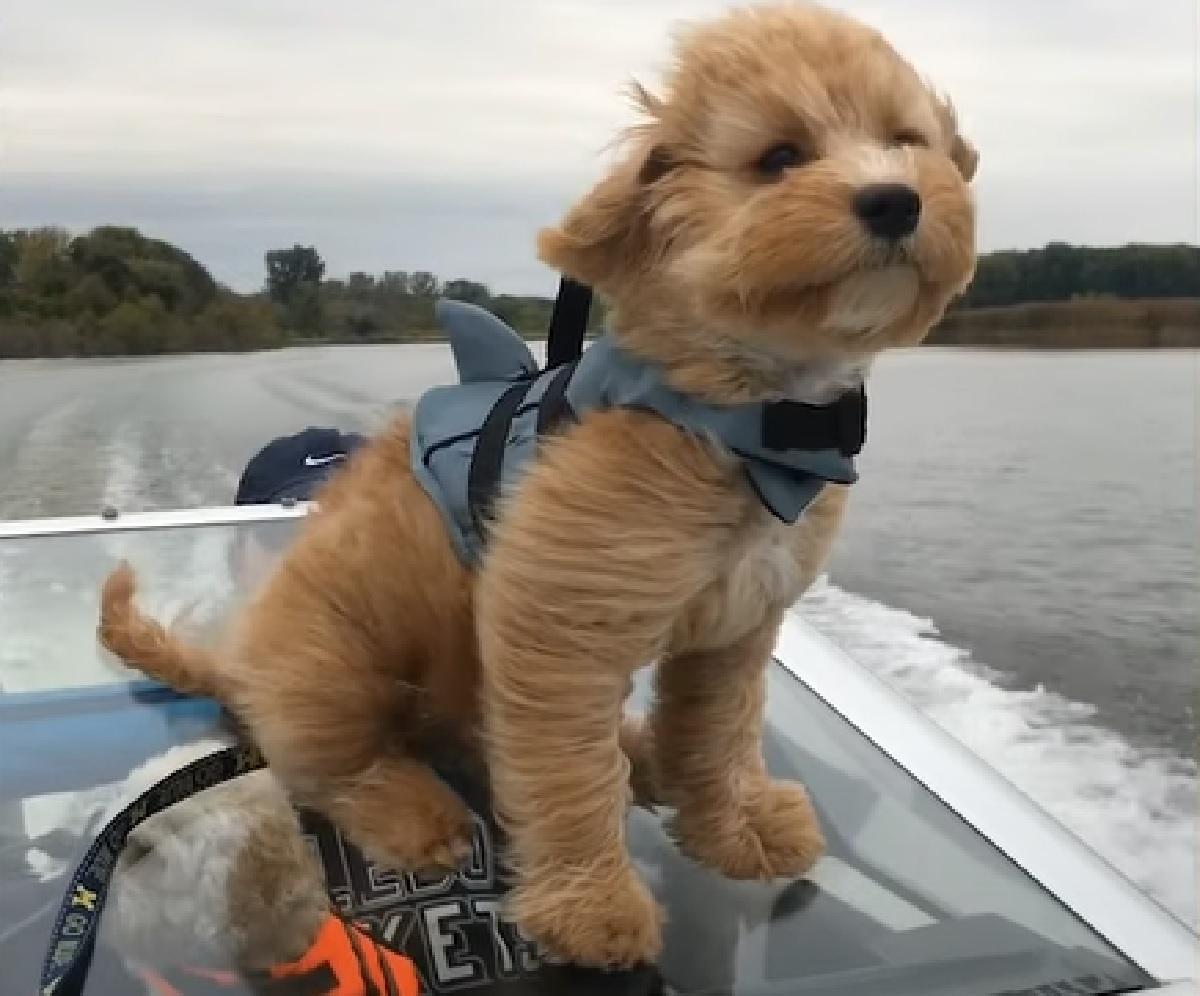 paddington cucciolo barboncino barca