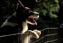cucciolo border collie chiede finto scheletro giocare assieme video