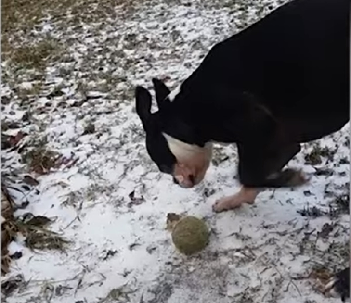 manson cucciolo boston terrier esce giorno dopo
