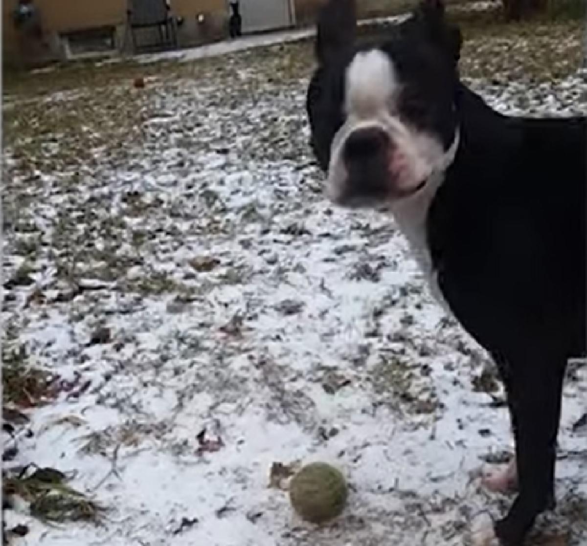 Il cucciolo Boston Terrier ha problemi nel giocare con la sua pallina preferita, il video ci spiega perché