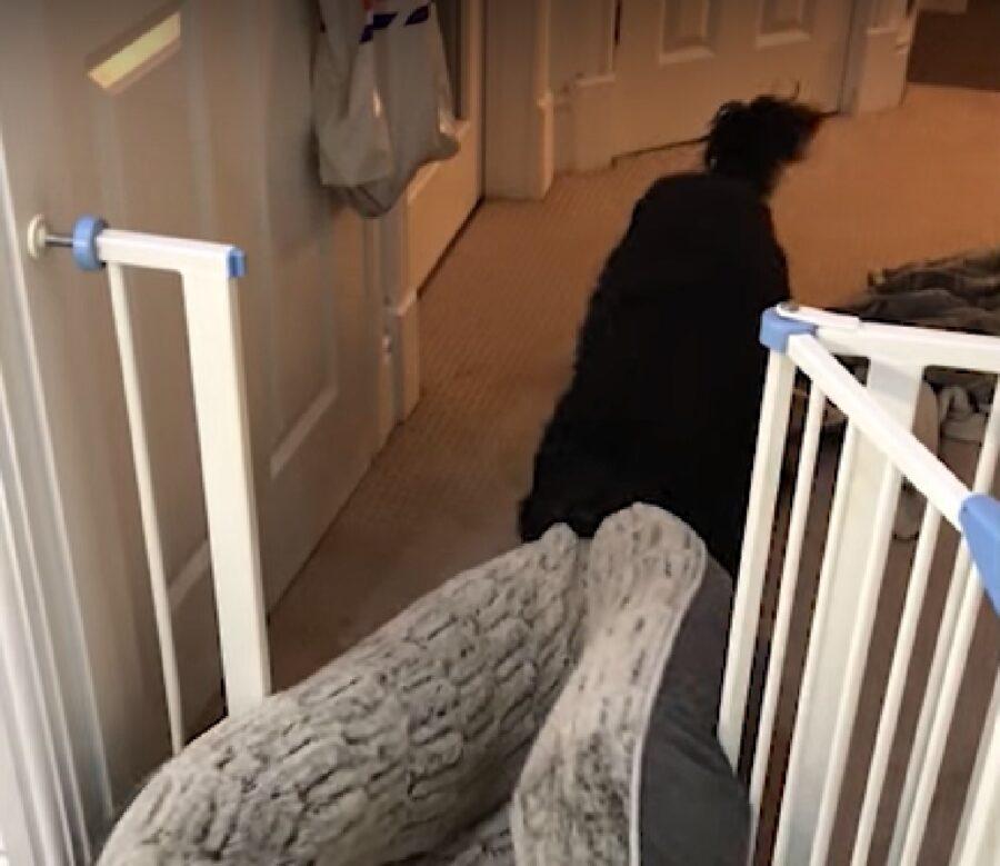 il cucciolo cockapoo porta cose casa