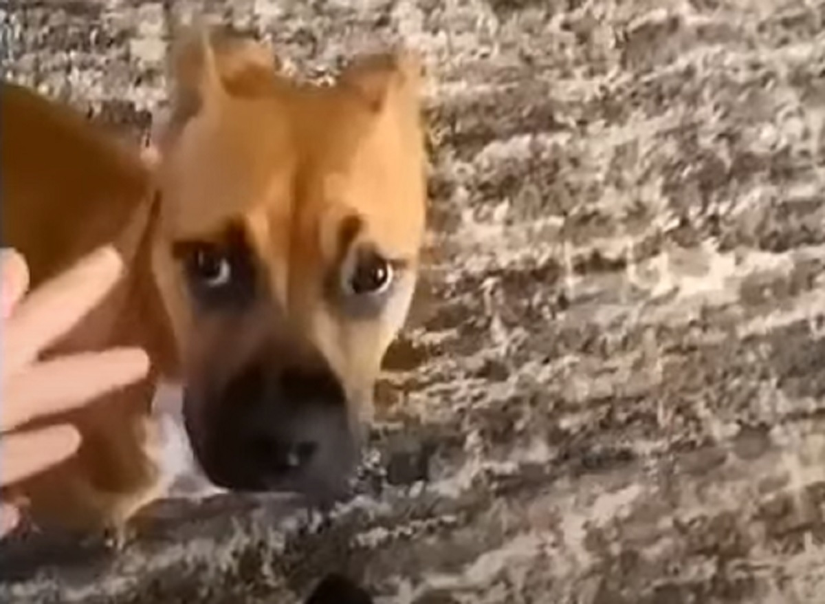 cucciolo boxer reazione