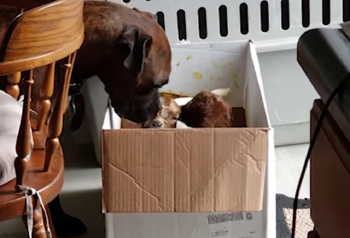 Il cucciolo di Boxer si prende cura di due piccole caprette, il video vi scioglierà letteralmente il cuore