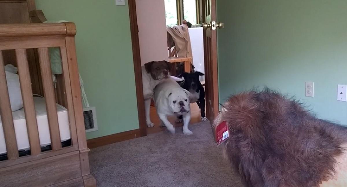 """Il cucciolo di Bulldog Inglese affronta eroicamente un """"feroce"""" leone, il video è da non perdere"""