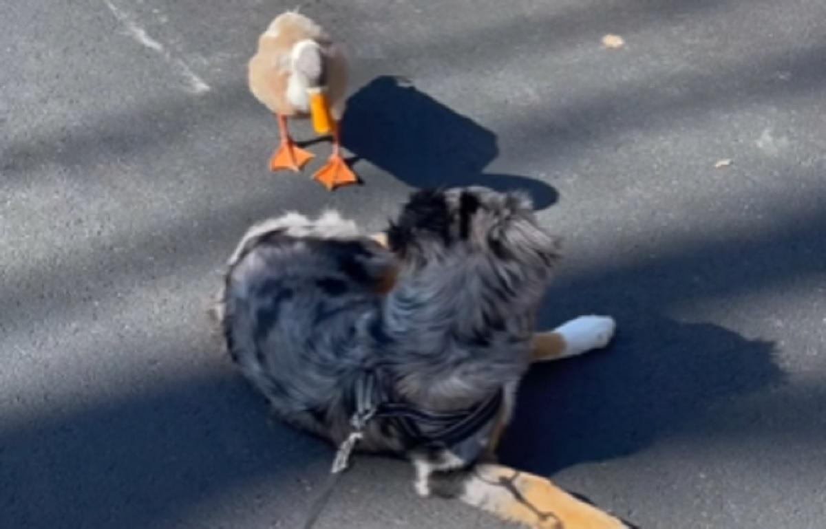amicizia cane anatra