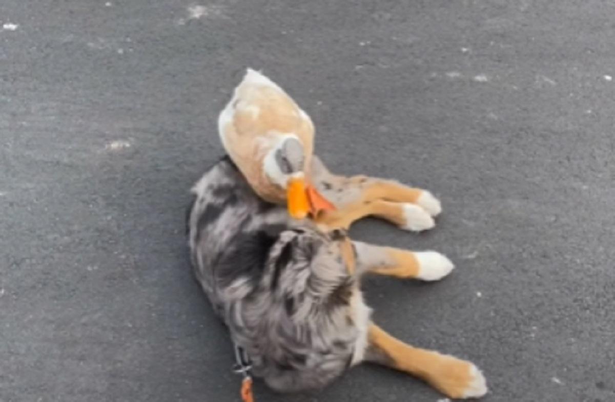 amica anatra cucciolo