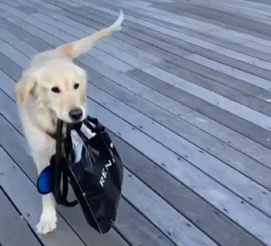 """Il cucciolo Golden Retriever adora """"portare"""" a spasso altri cani, il video"""