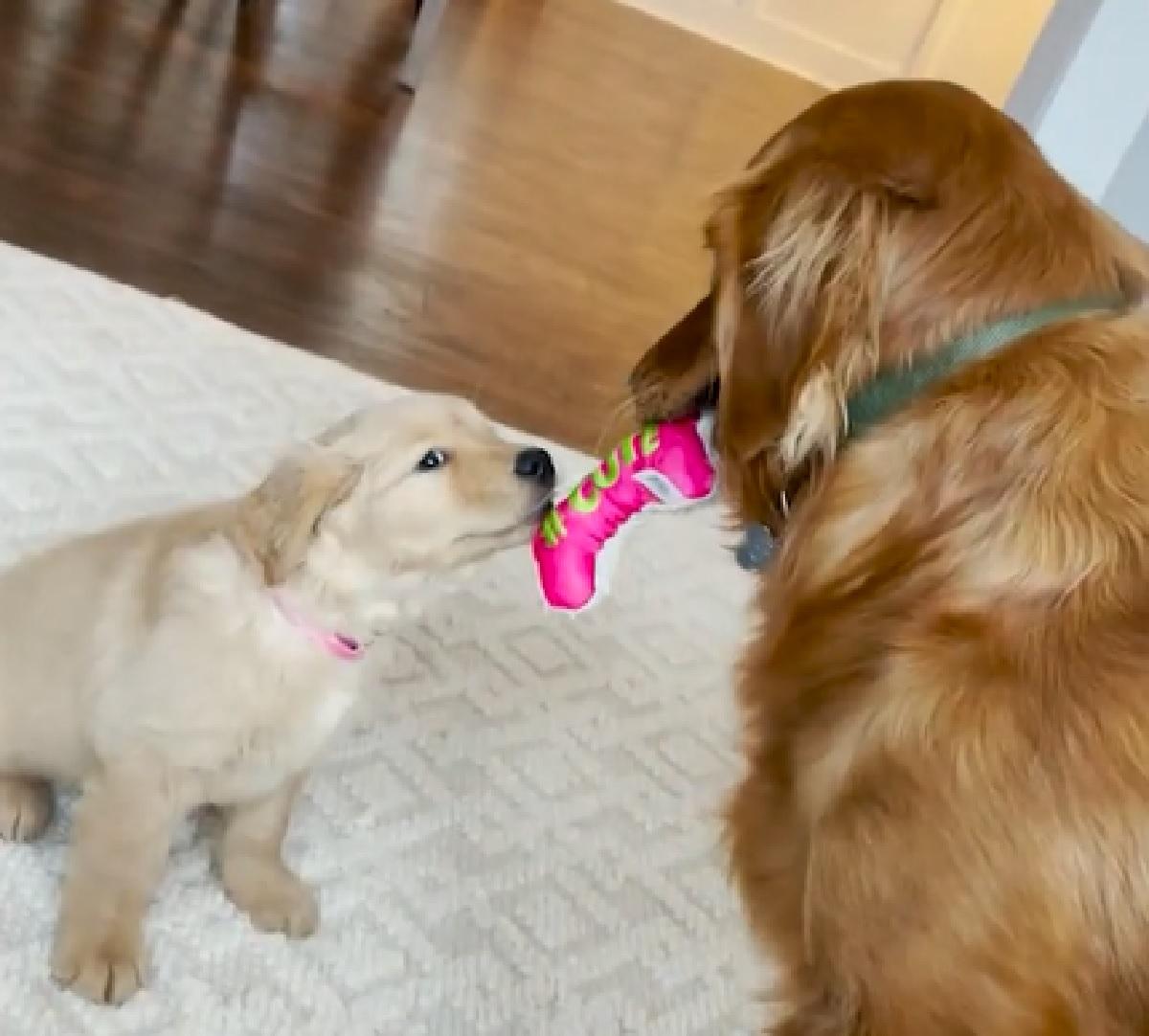 sid cucciolo cane gioca suo fratellino