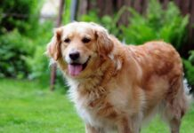 cucciolo golden retriever fa la conoscenza del suo fratellino video