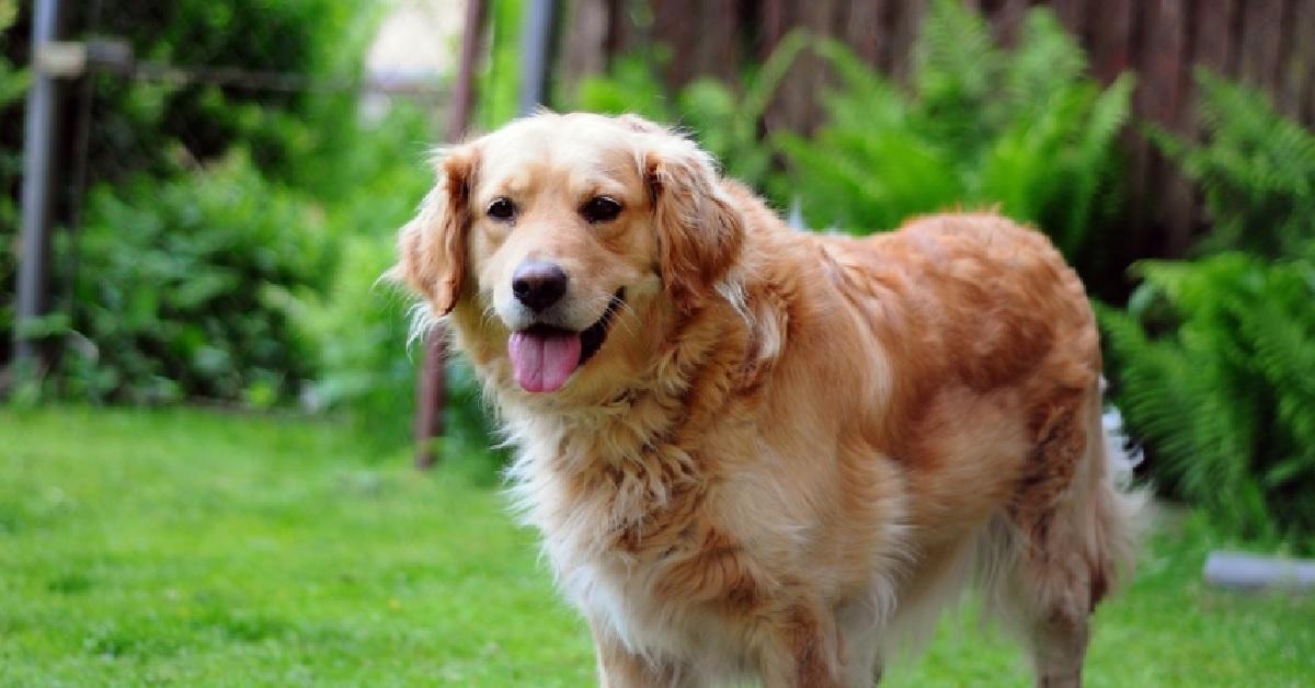 Il cucciolo di Golden Retriever vuole rubare il bastone al cane adulto (video)