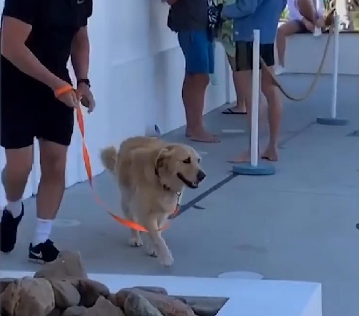 Il cucciolo Golden Retriever si rifiuta di continuare con la passeggiata, il proprietario non sa più cosa fare in video