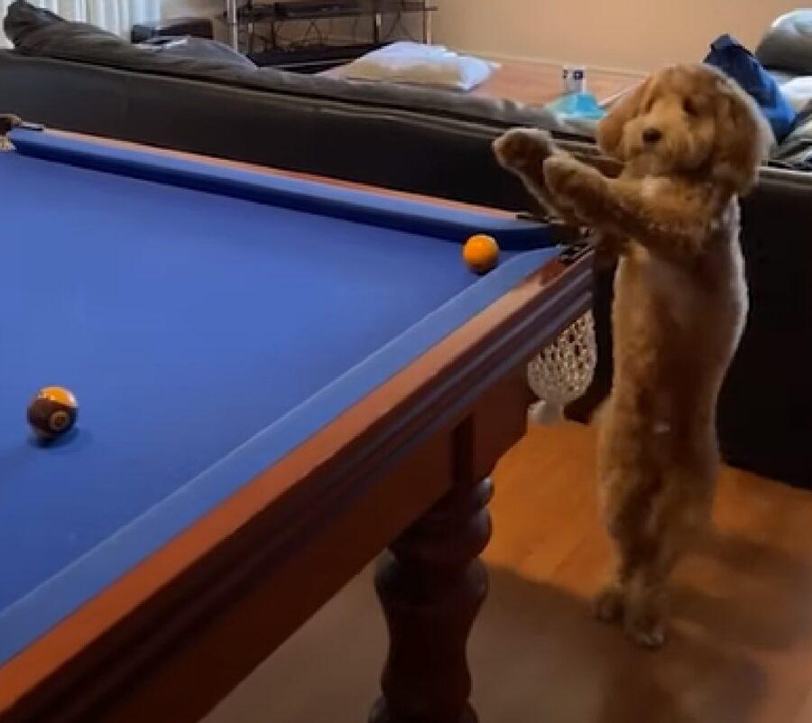 Il cucciolo Labradoodle è un vero esperto di biliardo, il suo talento in video
