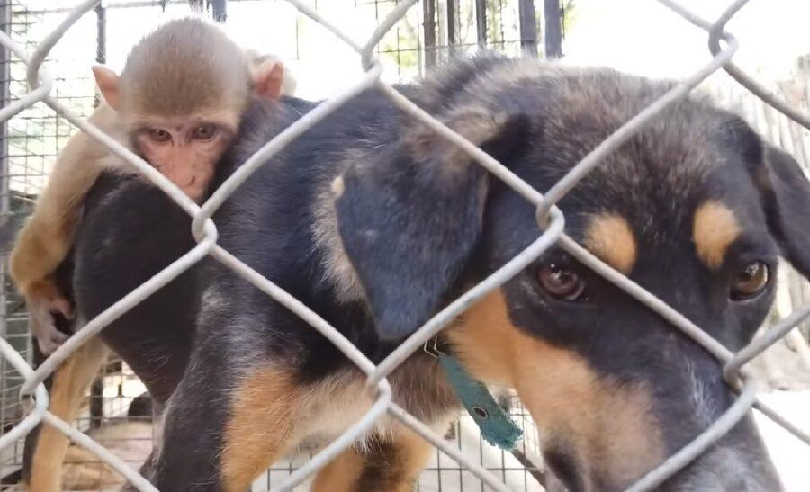 munnu cucciolo avni scimmia amore