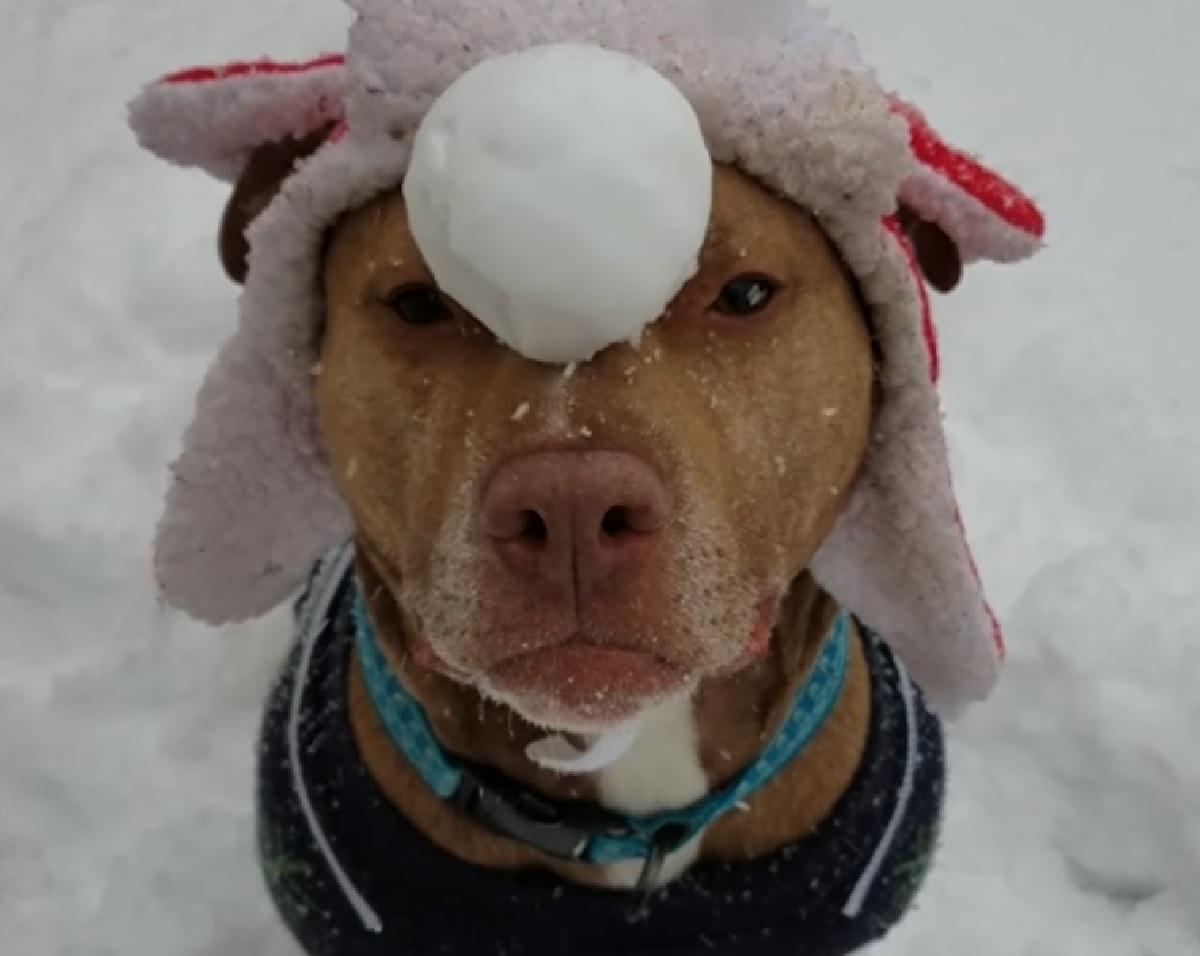 tango cucciolo pitbull pallina di neve