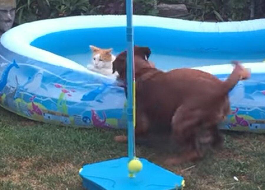 bodie cucciolo segugio austriaco piscina