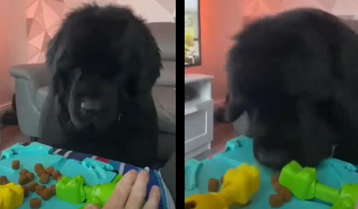 terranova cucciolo gioca