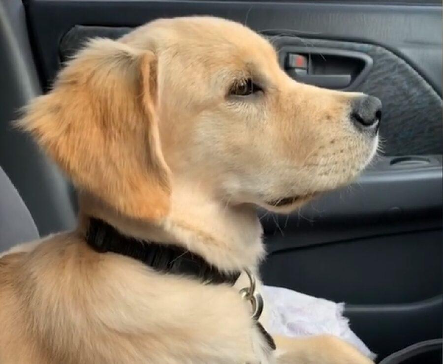 chet cucciolo golden retriever auto promessa