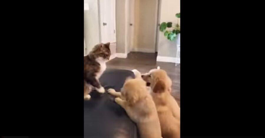 L'incontro ravvicinato tra i cuccioli di Golden Retriever e un gatto (VIDEO)