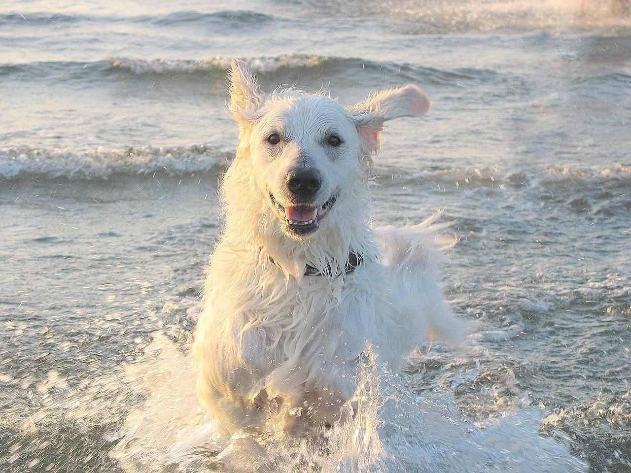 Razze di cani che darebbero la vita- Kuvasz
