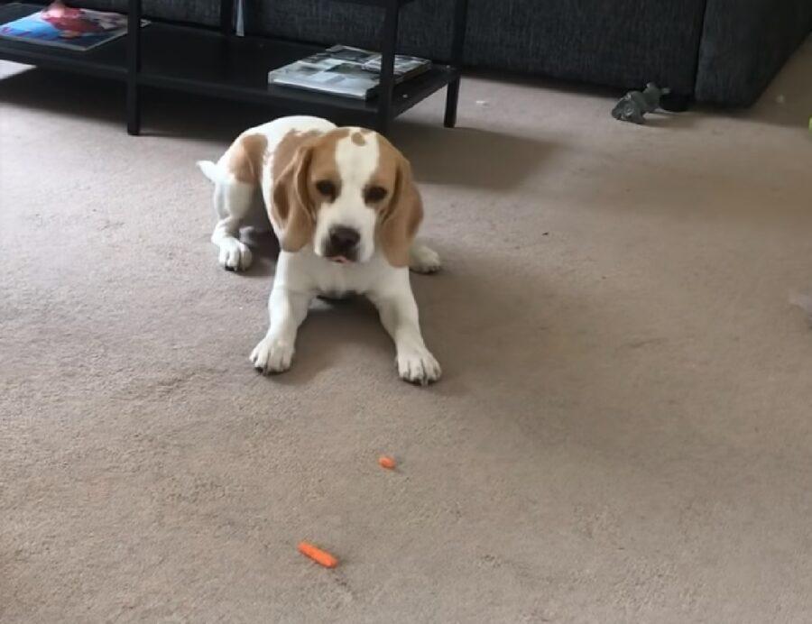california cucciola beagle carota semplice ortaggio