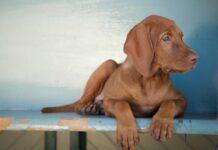 cucciola bracco ungherese adora spendere suo tempo mare video