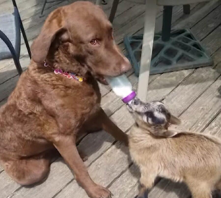 ivy cucciola chesapeake bay retriever