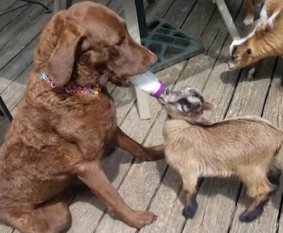 ivy cucciola cane allatta bottiglia capretta donkey
