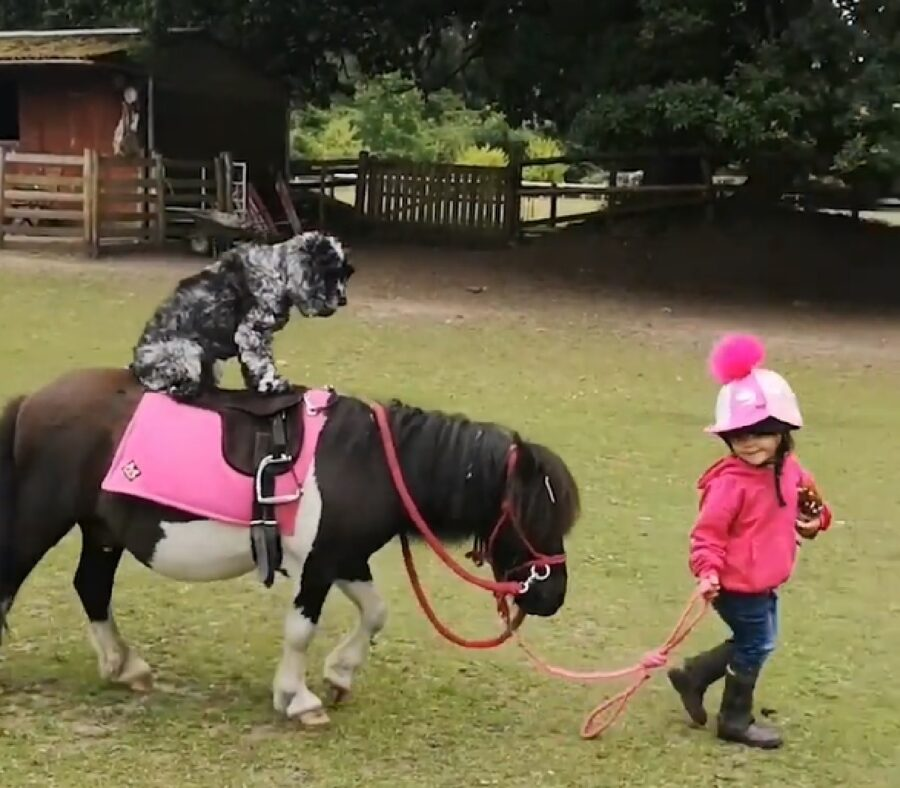 jenny cucciola cocker spaniel pony cavalcare