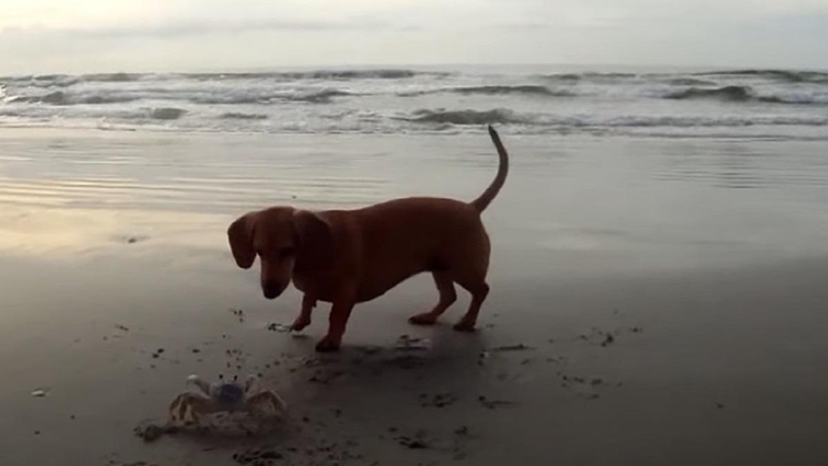 granchio diverte cagnolina