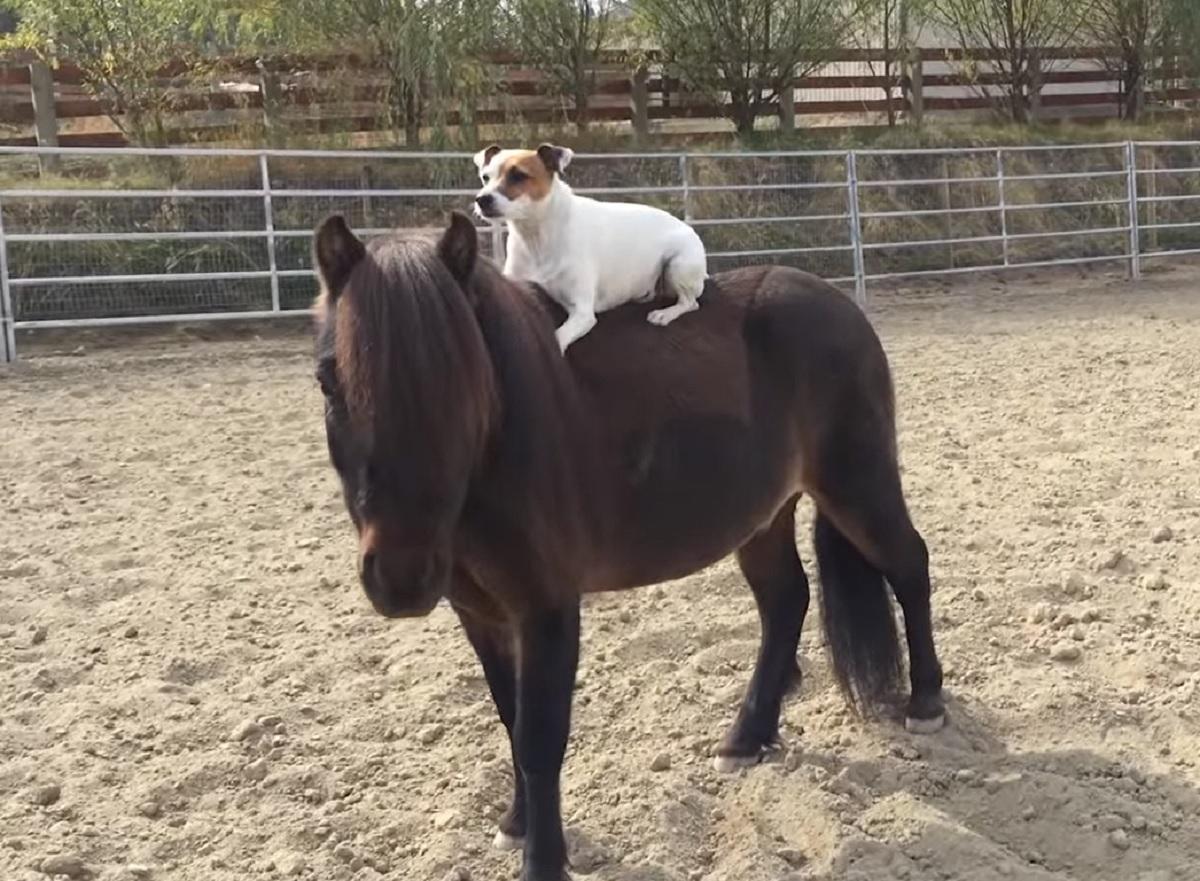 dally cucciola jack russel pony amicizia