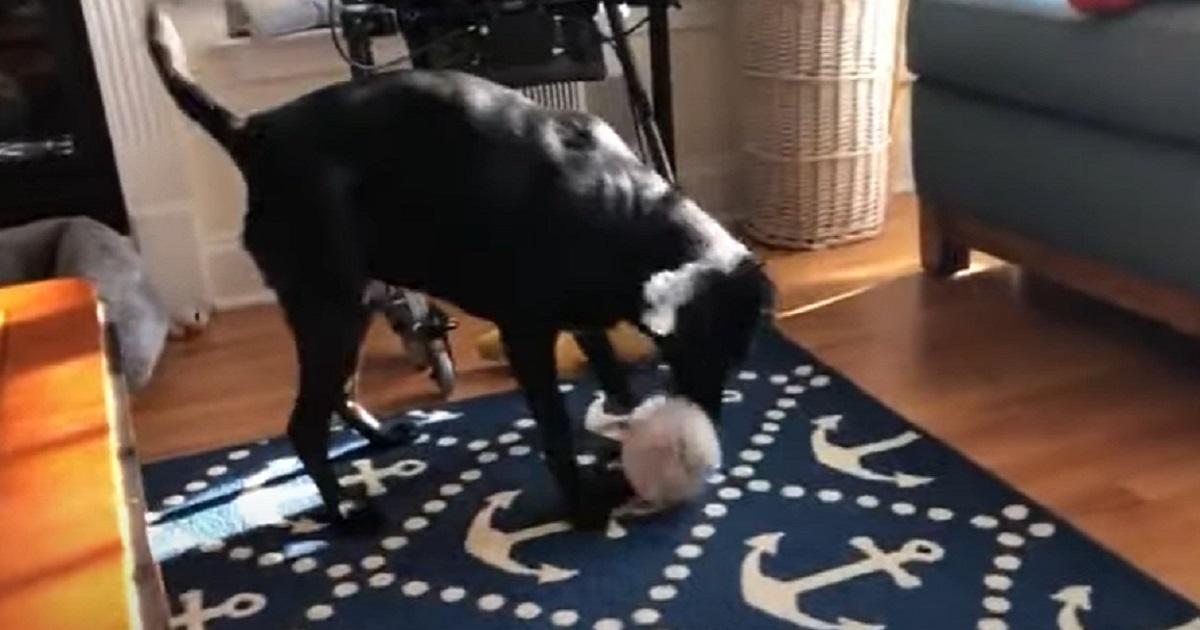 La cucciola Labrador salva dall'eutanasia riceve il primo regalo di natale, il video vi emozionerà
