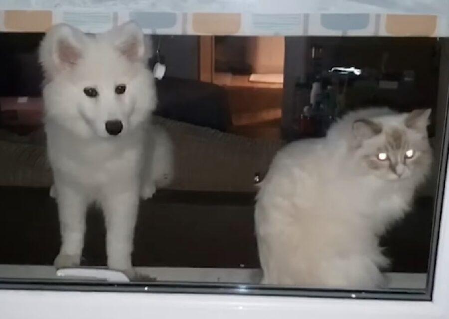 misha cucciola samoiedo casa gatta sorella
