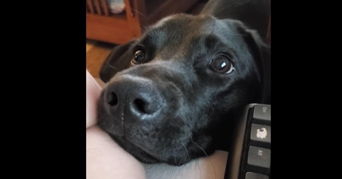 Un cucciolo di Labrador conquista la rete con la sua espressione mentre guarda la padrona che lavora da casa (VIDEO)