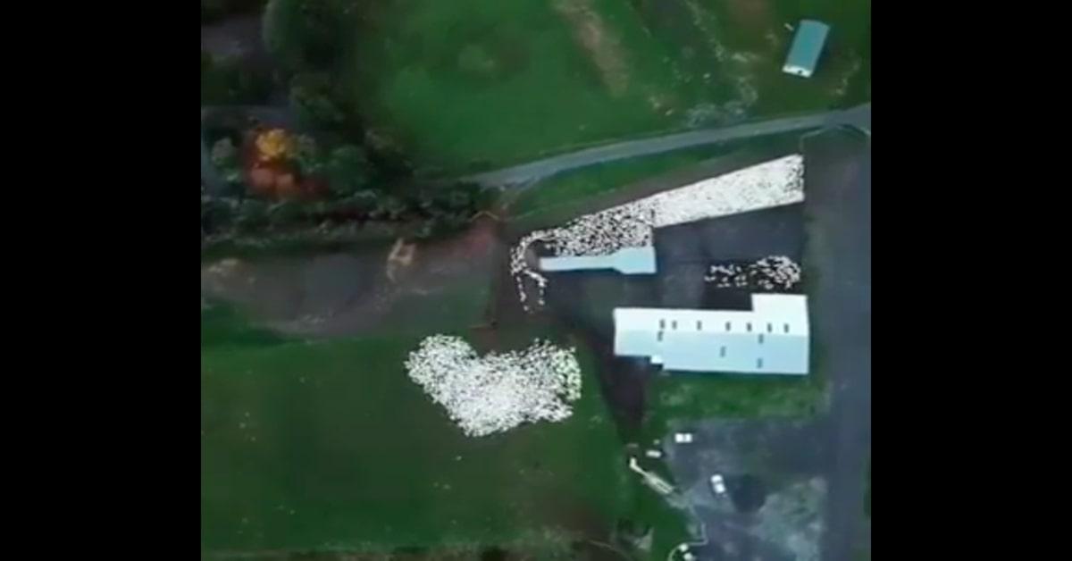 cane da pastore lavora visto con drone