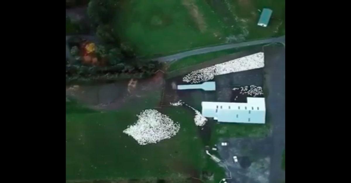 lavoro cane da pastore visto dal drone