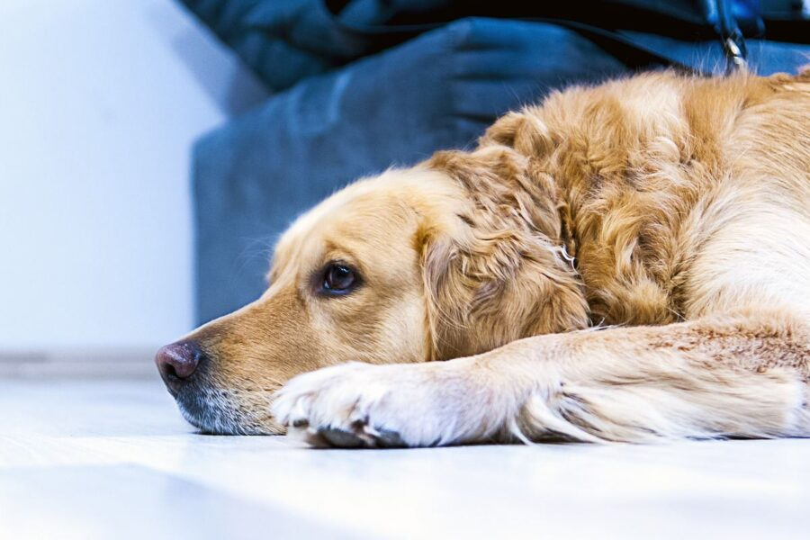 cane disteso ai piedi del divano