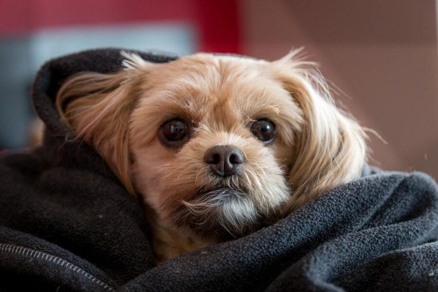 cucciolo avvolto nelle coperte