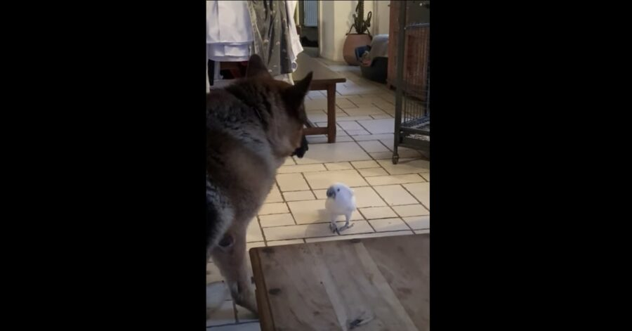 pastore tedesco guarda pappagallo