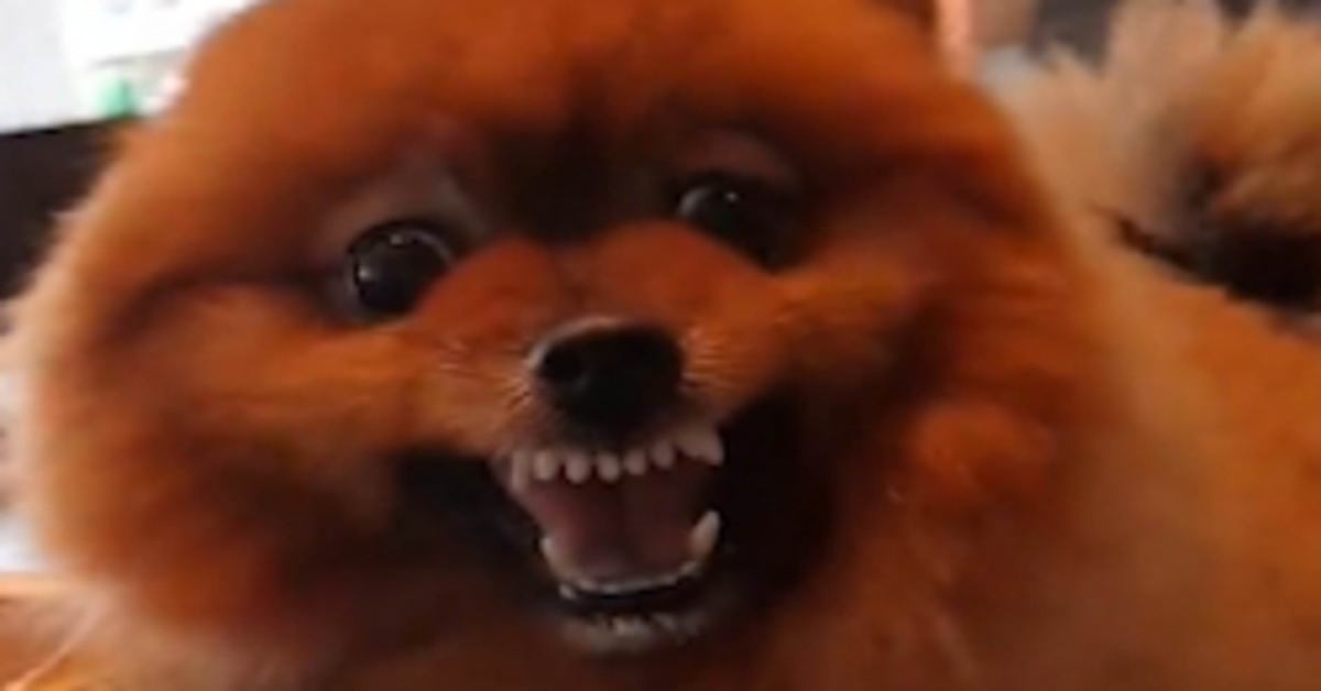 Pomerania arrabbiato