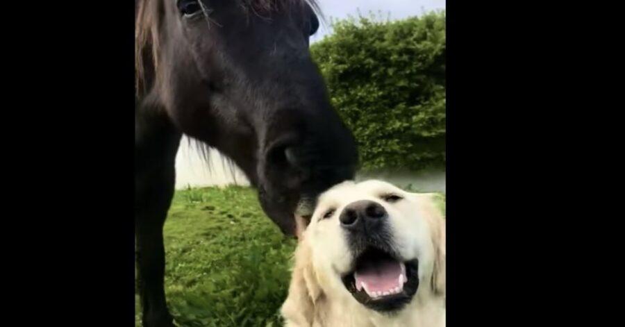 pony bacia cane golden felice