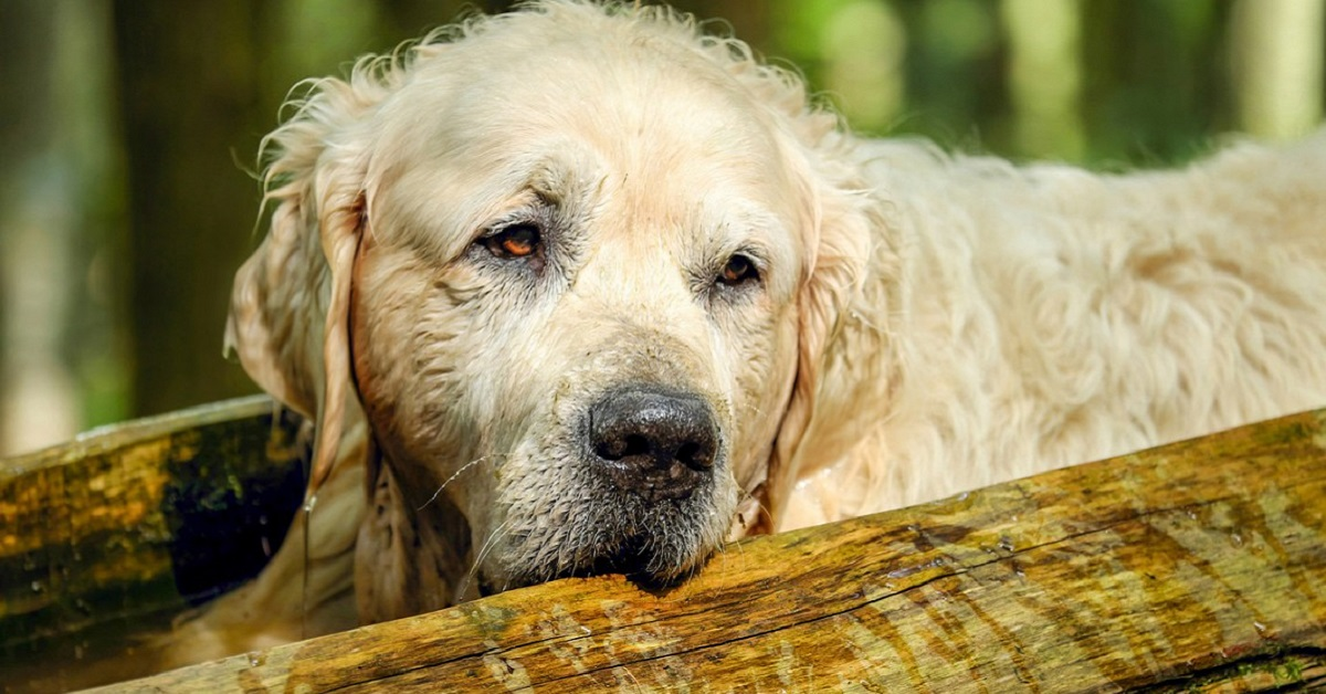 cane golden retriever anziano