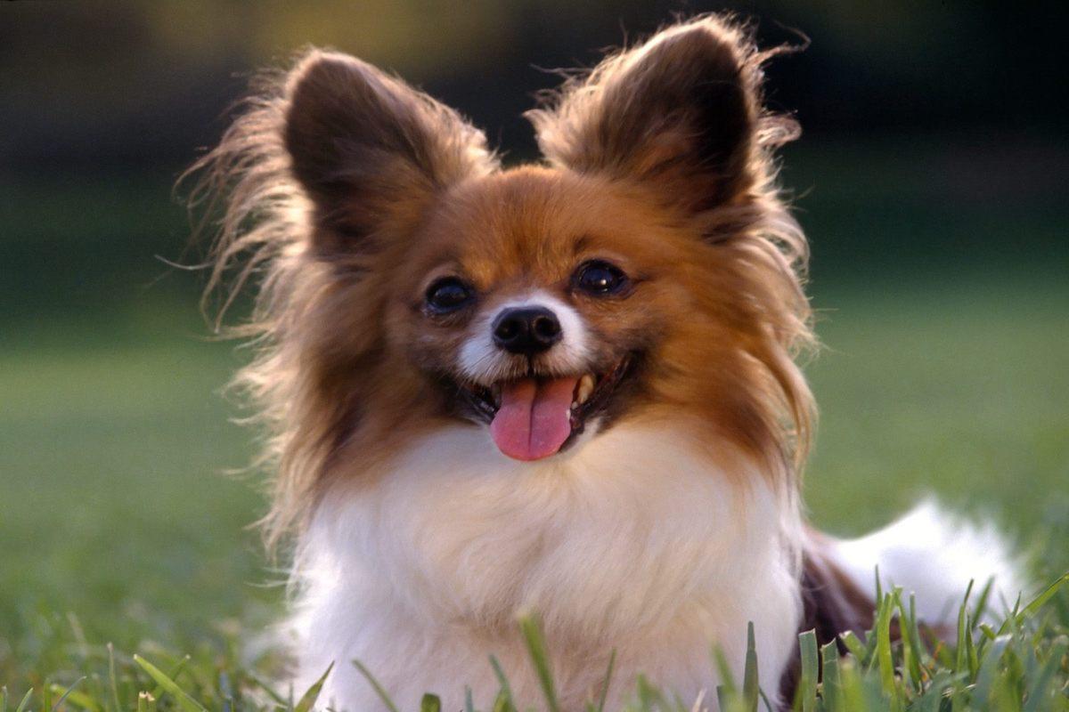 cane orecchie dritte