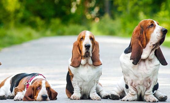 Razze di cani con orecchie buffe: le più carine