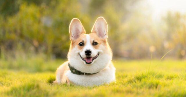 Cucciolo con orecchie buffe