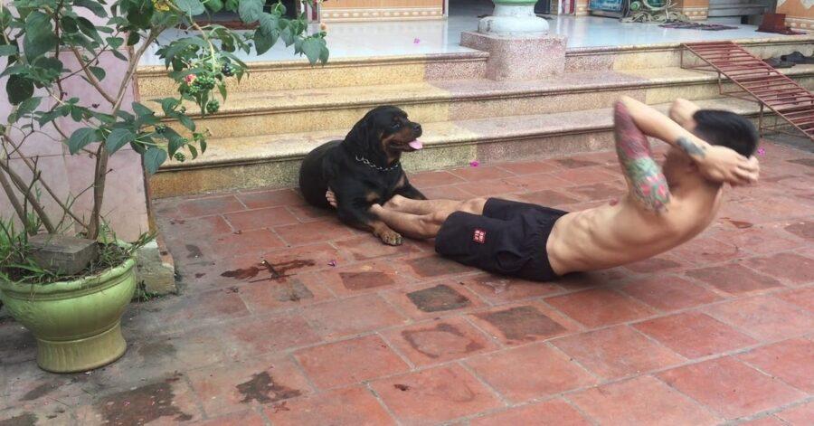 Rottweiler fa addominali con il padrone