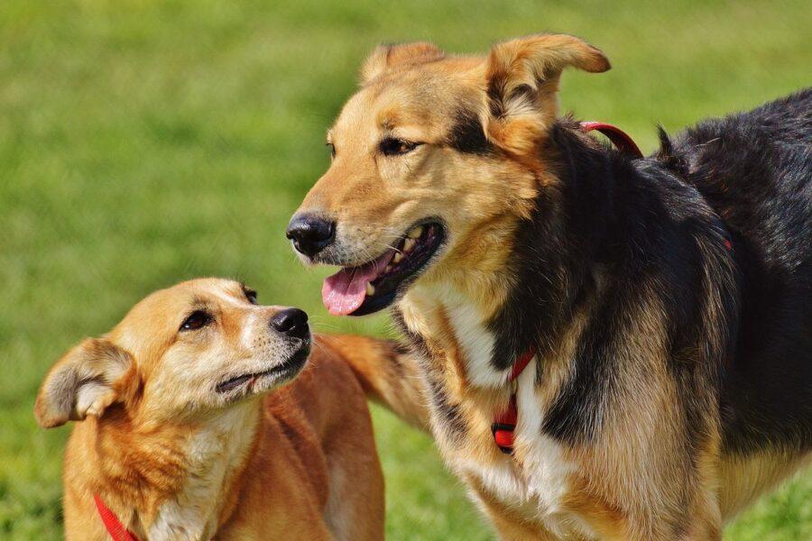 cani che giocano al parco
