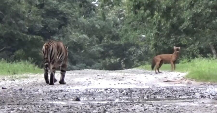 In India una tigre insegue un cane