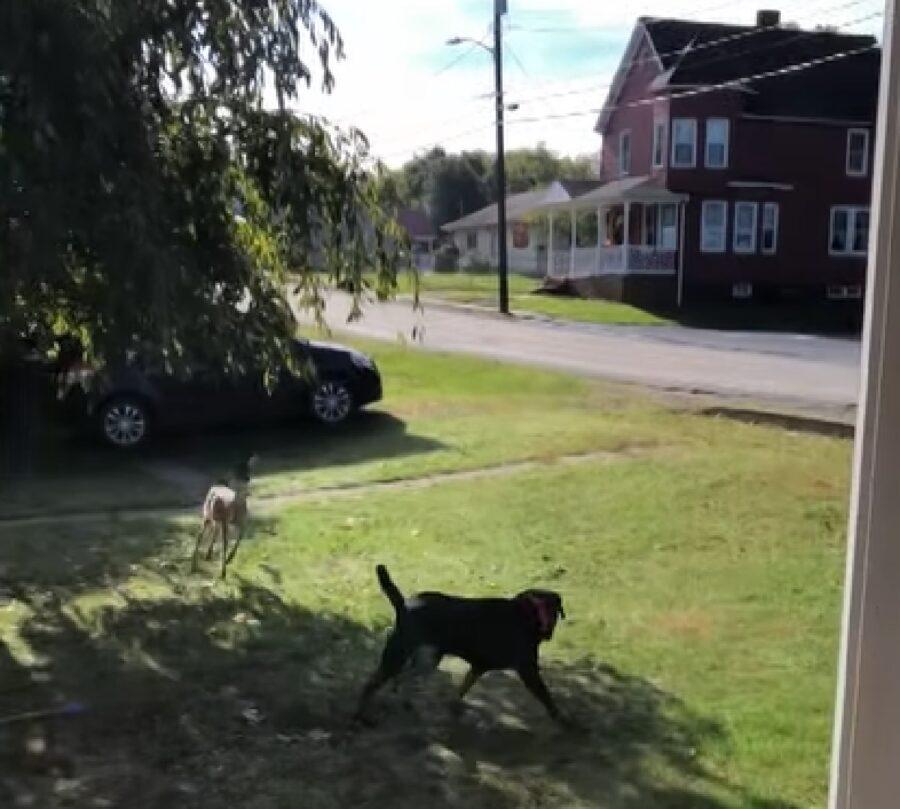 Un cucciolo Labrador Retriever fa la piacevole conoscenza di un cervo, il video