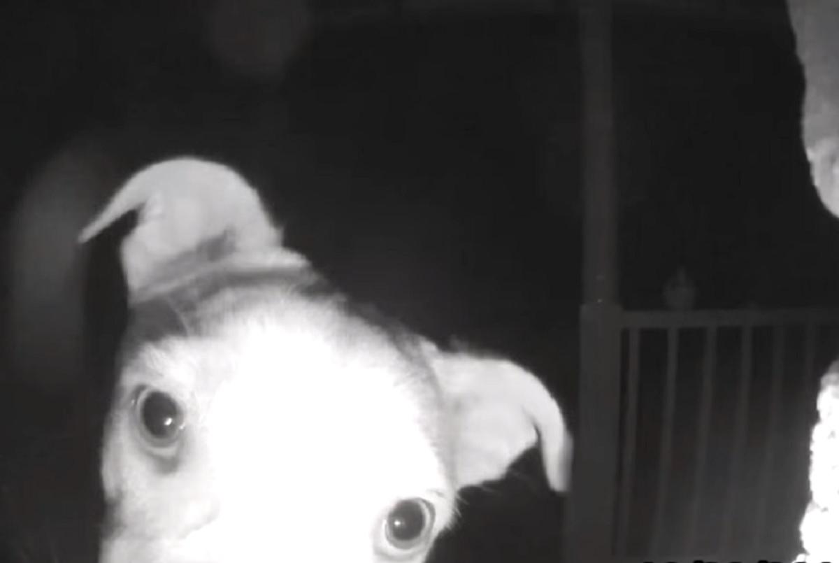 chika cucciola labrador mix giardino