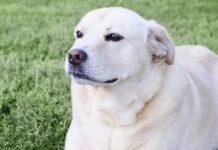 una cucciola labrador mix rimane chiusa fuori video